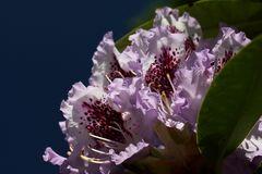 Rhododendrenzeit (2)