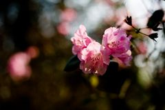 / Rhododendron /
