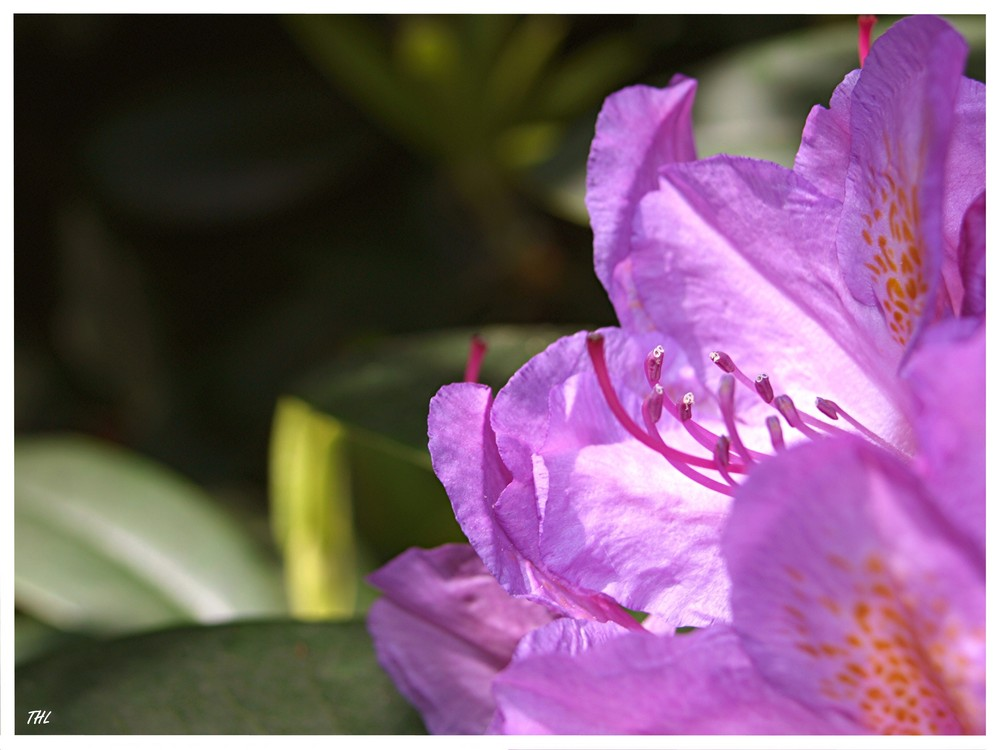 Rhododendron........