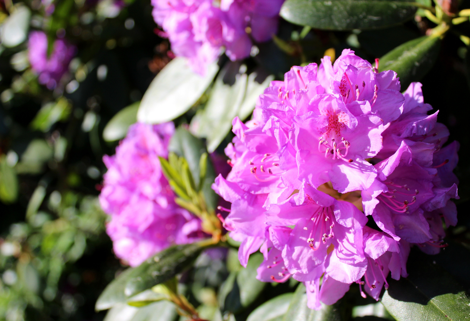 Rhododendron ...