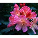 Rhododendron.....