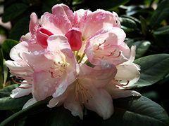 Rhododendron am frühen Morgen
