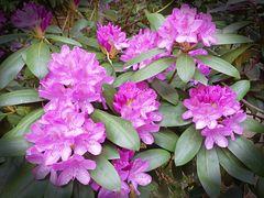 Rhododendron an dem Gerolsauer Wasserfall