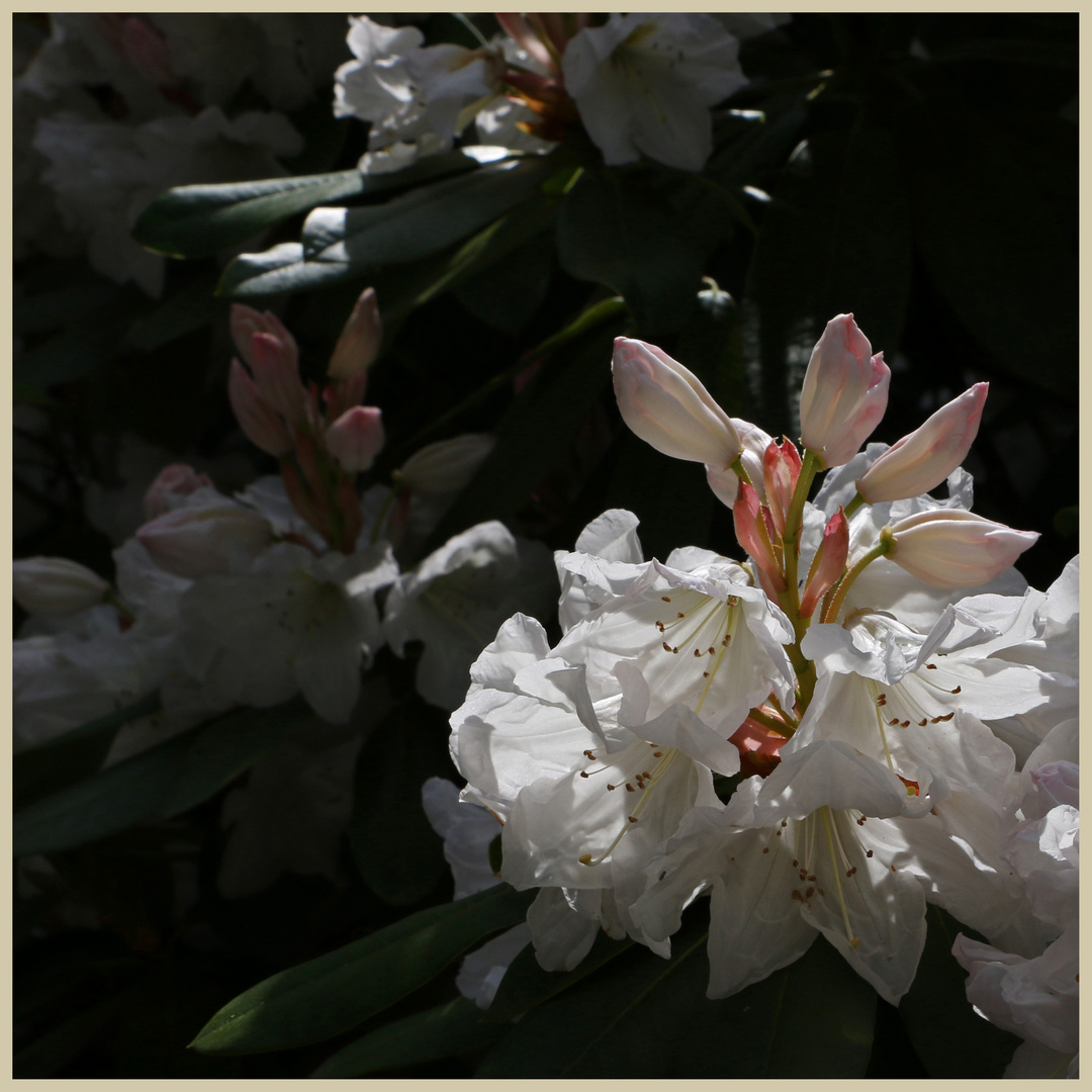 rhododendron at lilburn 2