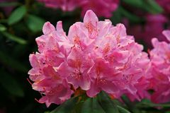 Rhododendron auf der Insel Mainau