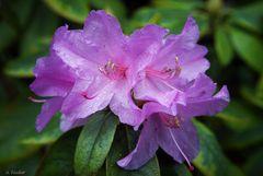 Rhododendron - Azalee