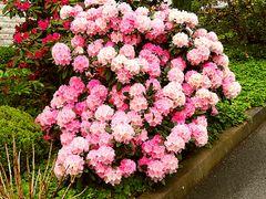 Rhododendron blühen in den Frankenfarben Rot-Weiß