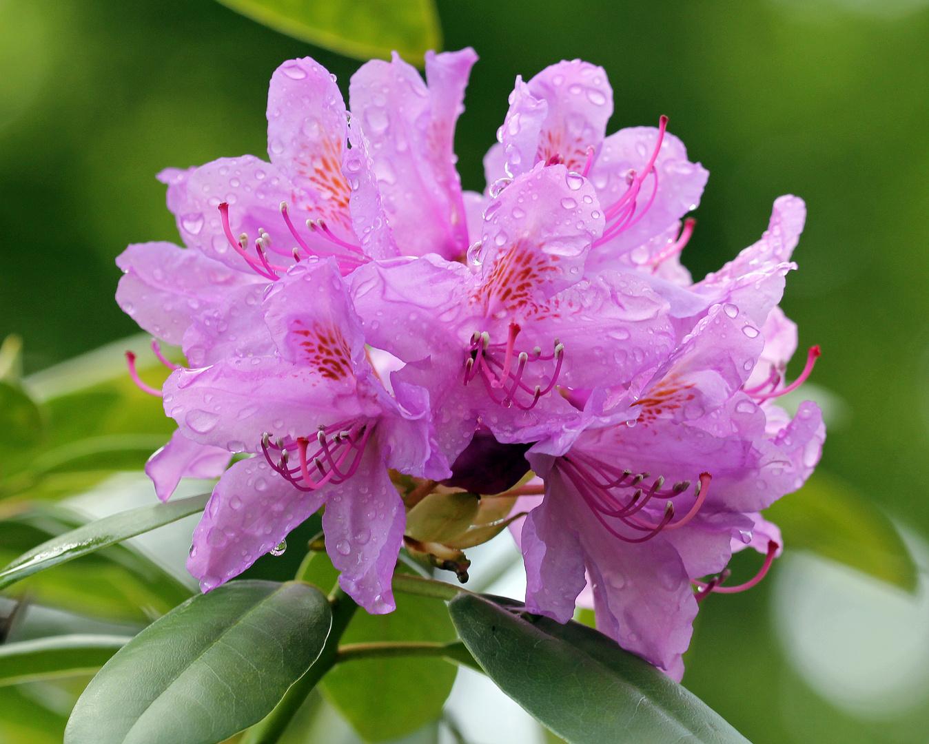 Rhododendron - Blüte nach Regen -1-