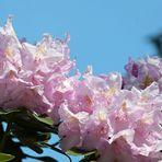 Rhododendron - Blüte nach Regen -2-