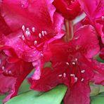 Rhododendron - Blüte nach Regen -4-