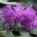 Rhododendron - Blüte nach Regen -5-