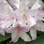 Rhododendron - Blüte nach Regen -6-
