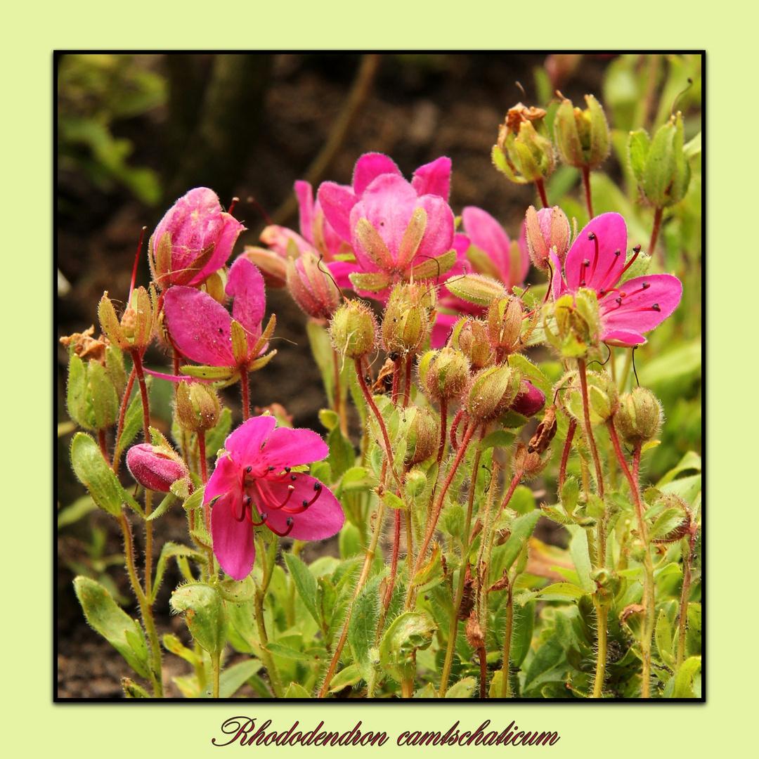 Rhododendron camtschaticum...