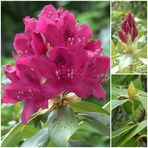 """ RHODODENDRON-COLLAGE """