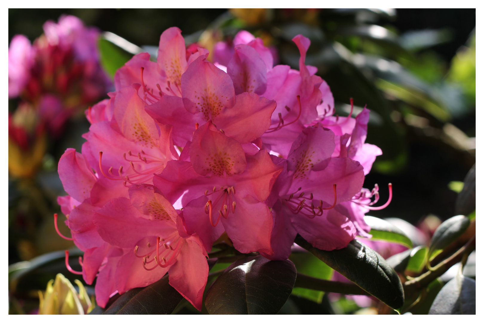 ++ Rhododendron ++