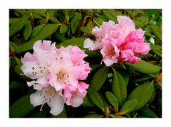 *Rhododendron*