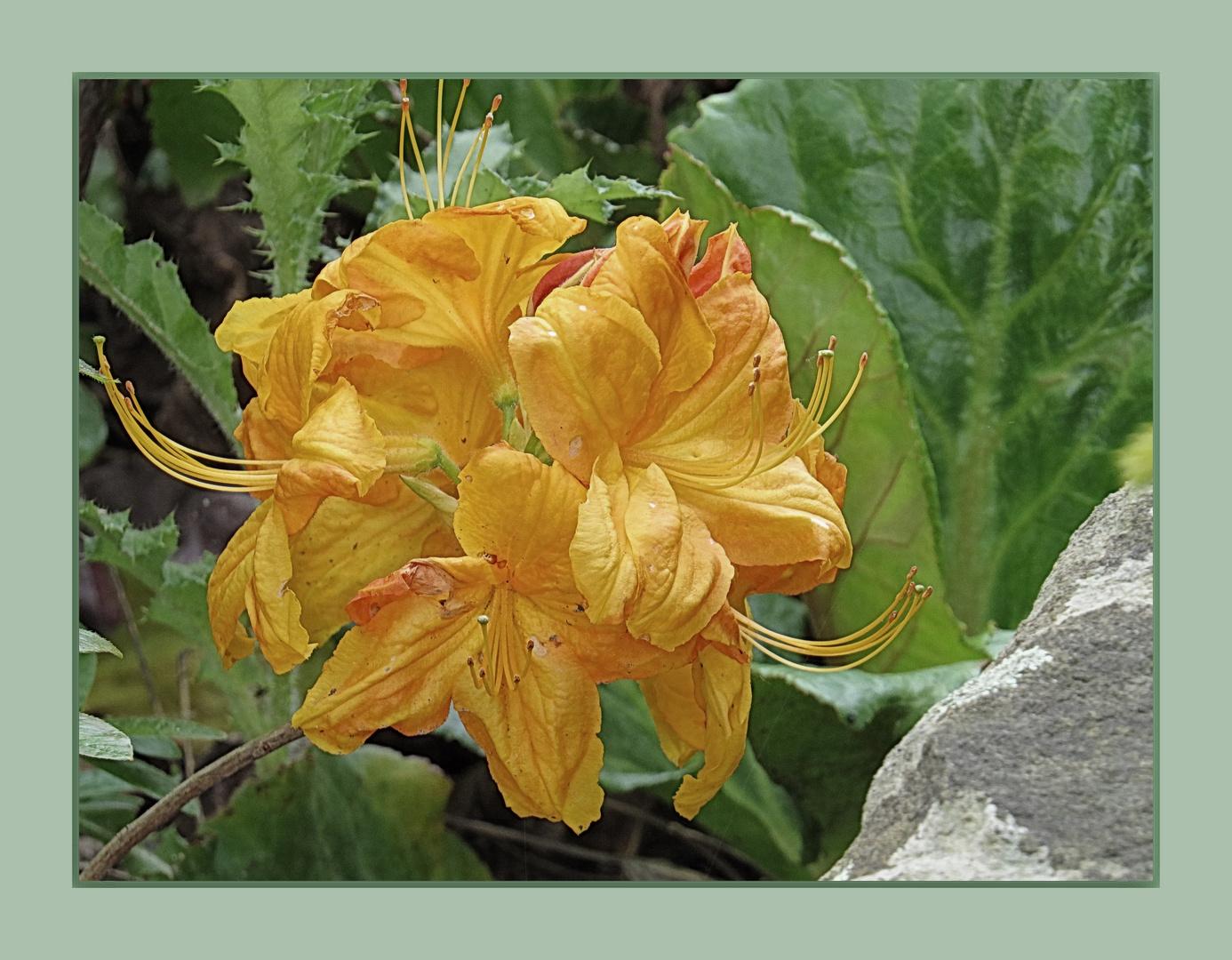 Rhododendron - die gelbe (1)