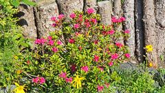 Rhododendron ferruginaeum, eine der Pflanzenpersönlichkeiten seit über zehn Jahren...