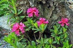 Rhododendron feruginaeum