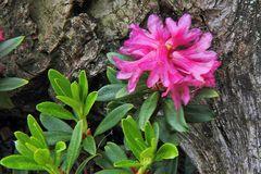 Rhododendron  feruginaeum - rostrote  Alpenrose