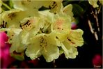Rhododendron - gelb