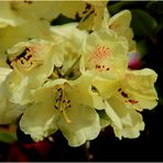 Rhododendron - gelb