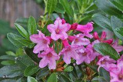 Rhododendron hirsutum Bewimperte Alpenrose