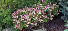 "Rhododendron hirsutum die ""Bewimperte Alpenrose""..."