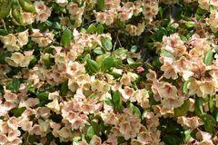 Rhododendron im Botanischen Garten Rostock (1)