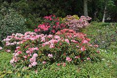Rhododendron im Botanischen Garten Rostock (3)