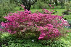 Rhododendron im Botanischen Garten Rostock (4)
