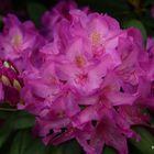 Rhododendron im Klostergarten 1