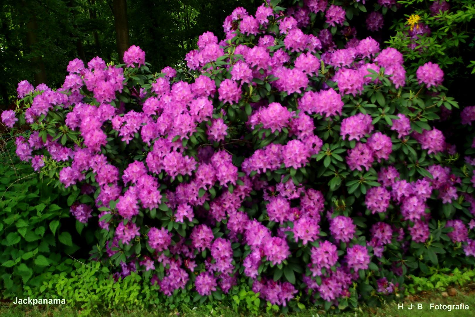 Rhododendron im Klostergarten
