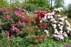Rhododendron im Rostocker IGA-Park