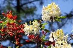 Rhododendron im Seleger Moor