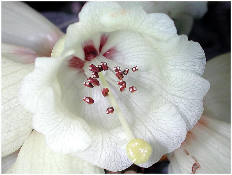 Rhododendron in der Botanika Bremen