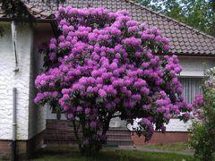 Rhododendron in Hohenlockstedt