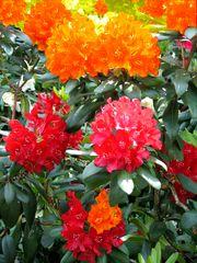 Rhododendron mehrfarbig