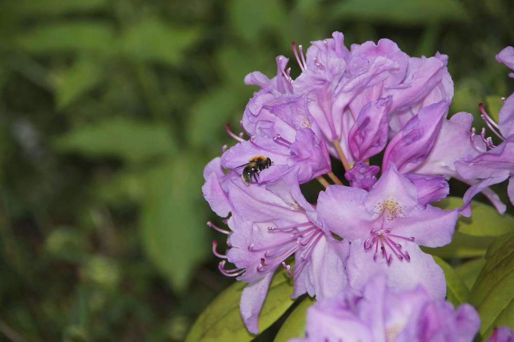 Rhododendron mit Besucher