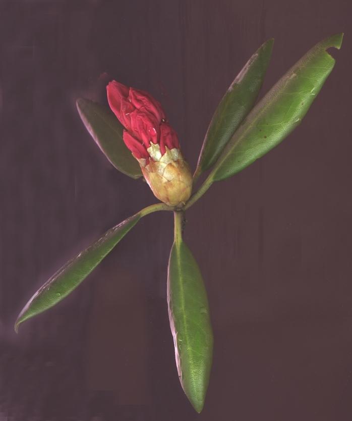 Rhododendron, mit Scanner eingelesen