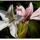 Rhododendron - Mittwochs-Blümchen