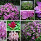 Rhododendron nach dem Regen