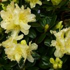 """"""" RHODODENDRON """" Patty Bee"""