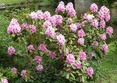 Rhododendron, rosa Busch