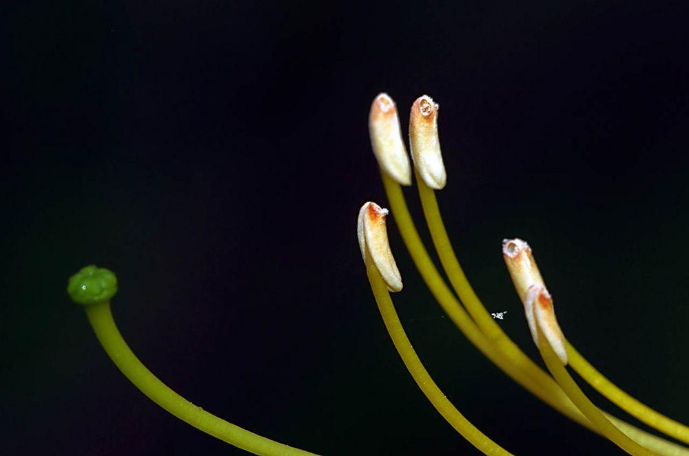 Rhododendron-Staubblätter