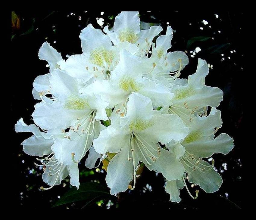 rhododendron wei foto bild pflanzen pilze flechten bl ten kleinpflanzen. Black Bedroom Furniture Sets. Home Design Ideas