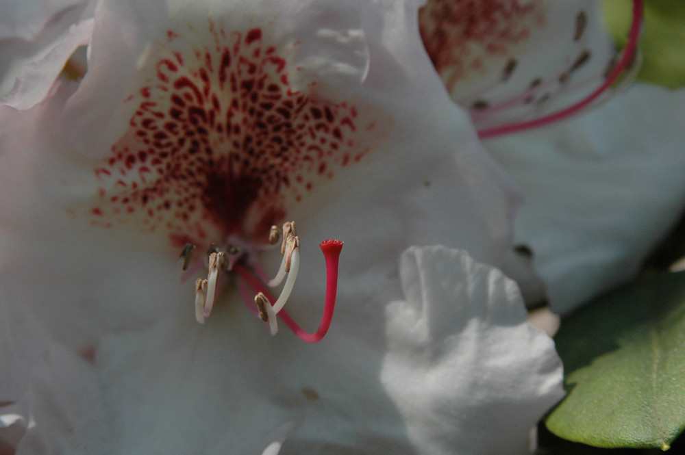 Rhododendron weiss-rot