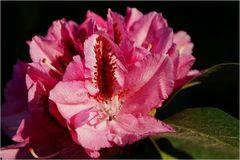 Rhododendron zum Pfingstfest  in voller Blüte