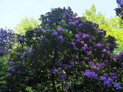 Rhododendronblühte