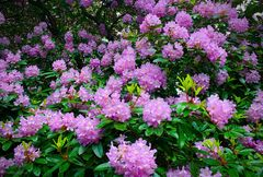 Rhododendronblüte im Heltorfer Park